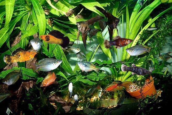 Совместимость пецилии с другими рыбками